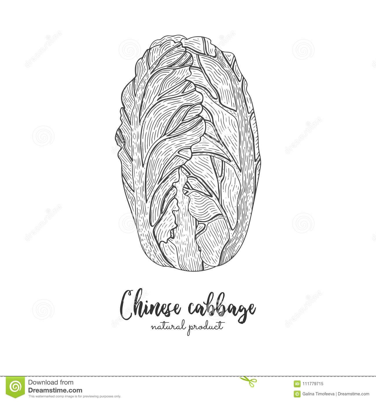 Chinese cabbage hand drawn vector illustration. Isolated vegetable engraved style object. Detailed vegetarian food
