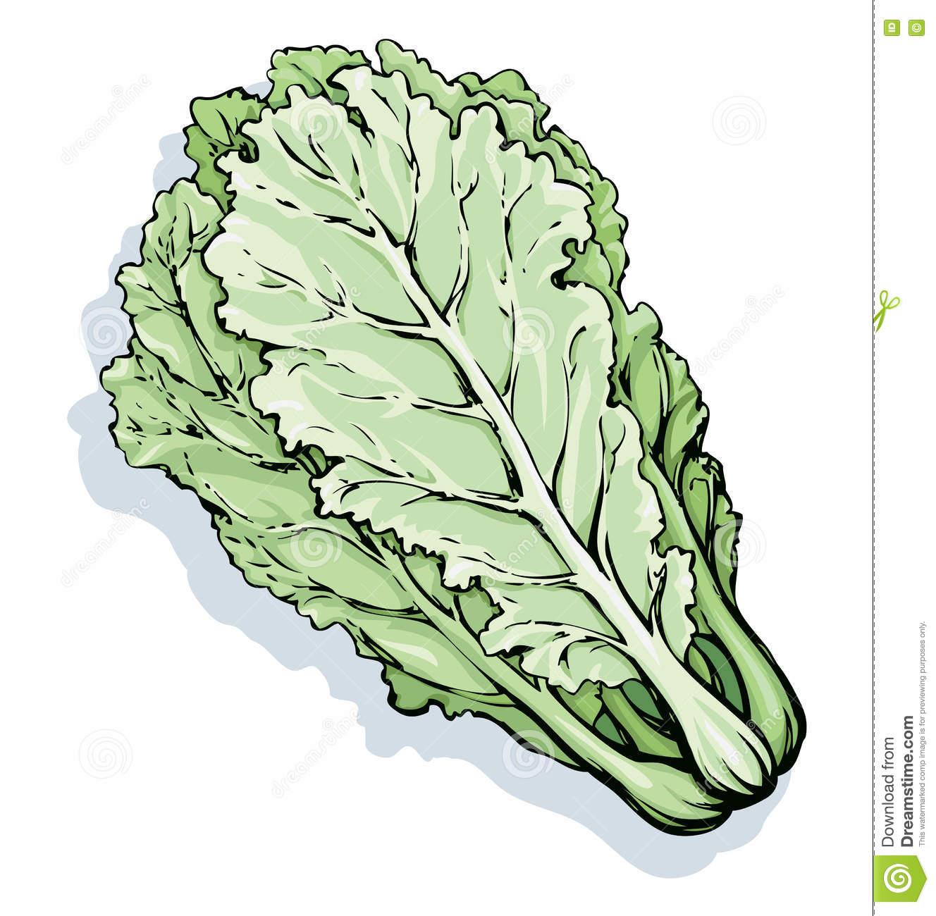 Chinese Cabbage. Vector Drawing Stock Vector - Image: 71909313