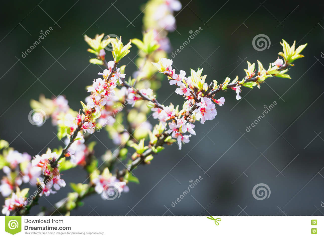 chinese cherry blossoms stock image image of bloom flower 74662601