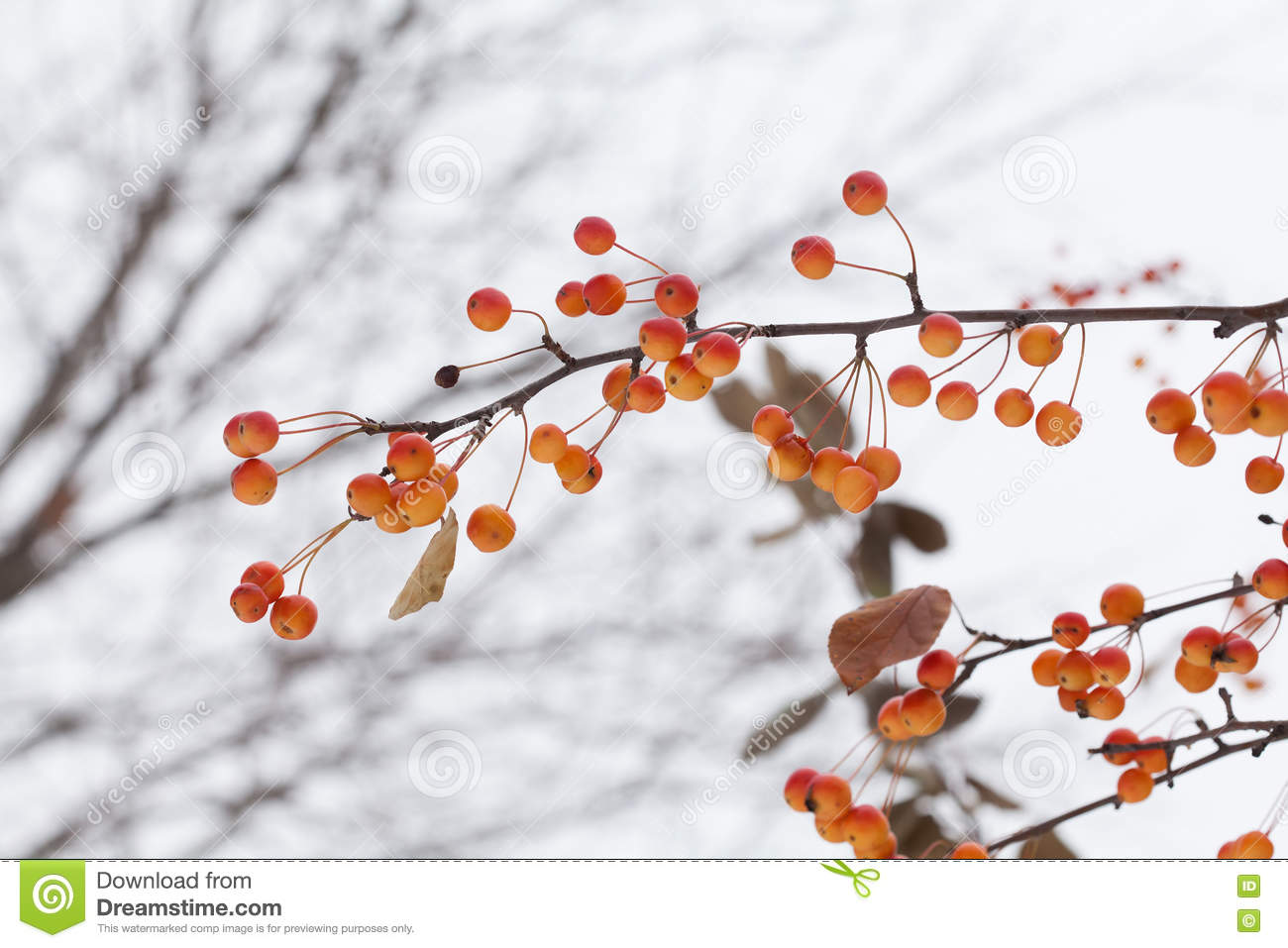 Crabapple Tree With Yellow Fruit