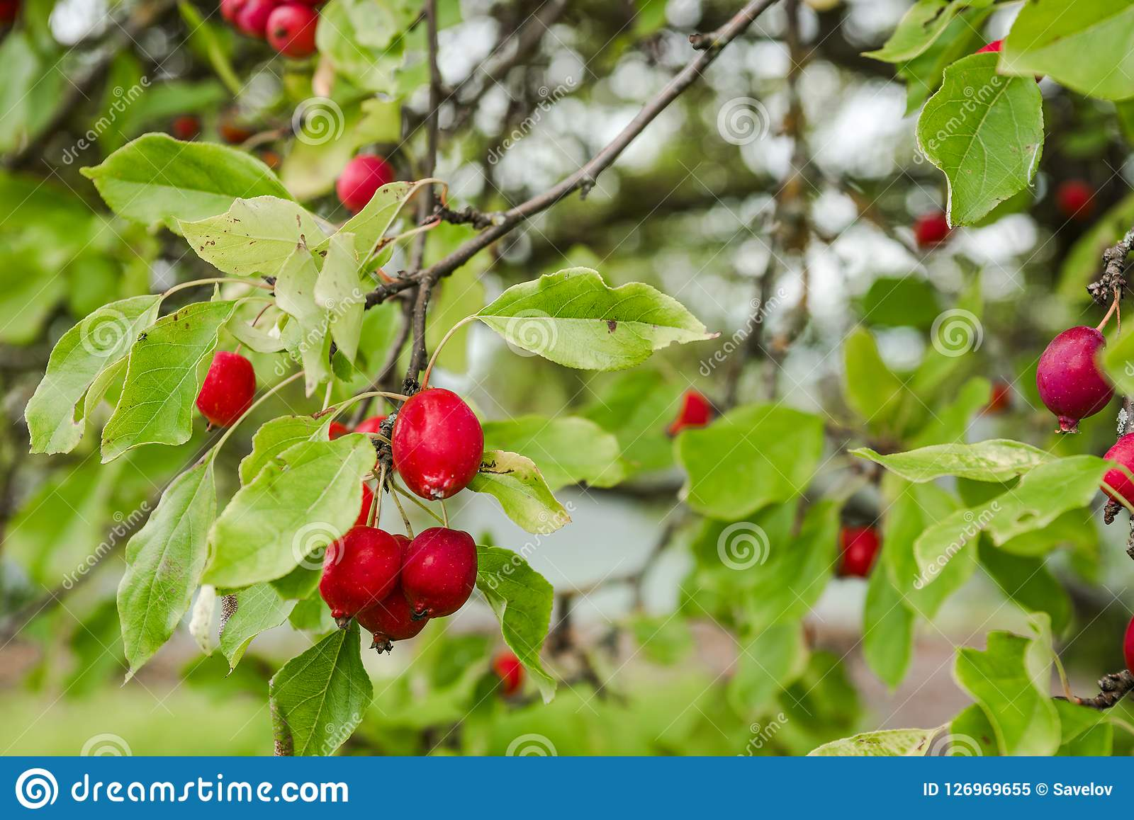 Rose Apple Fruit In Chinese