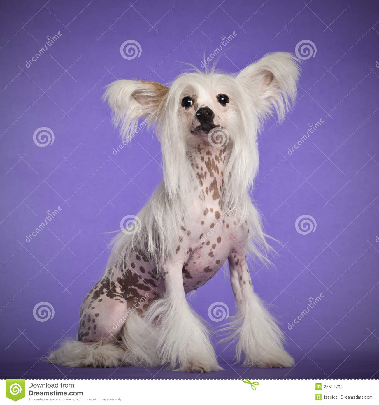 Chinese Crested 4 Months Chinese Crested Dog, 9...