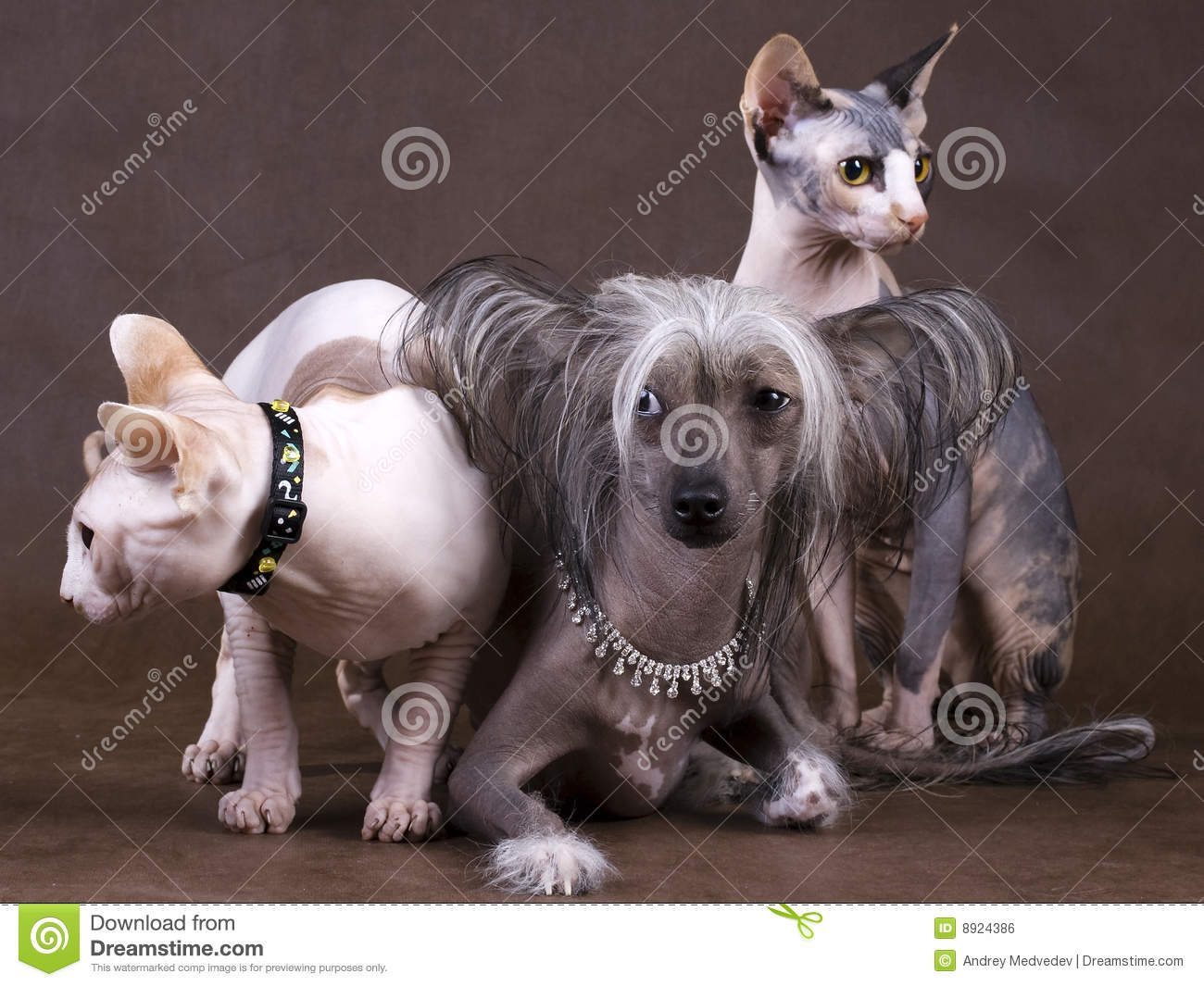 Chinese Crested Dog, Don Sphynx And Peterbald Royalty Free Stock ...