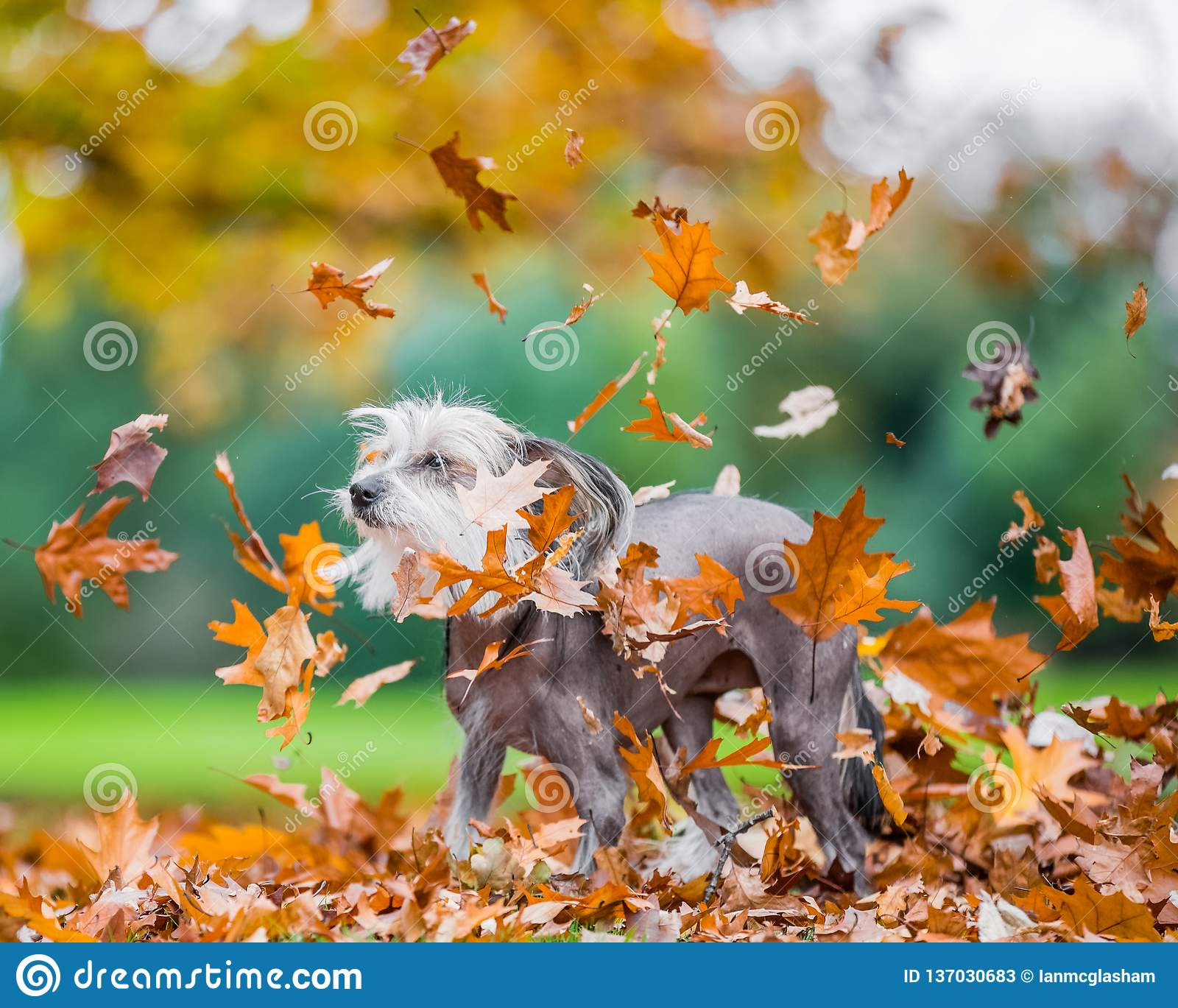 Chinese Crested Dog in falling autumn fall leaves