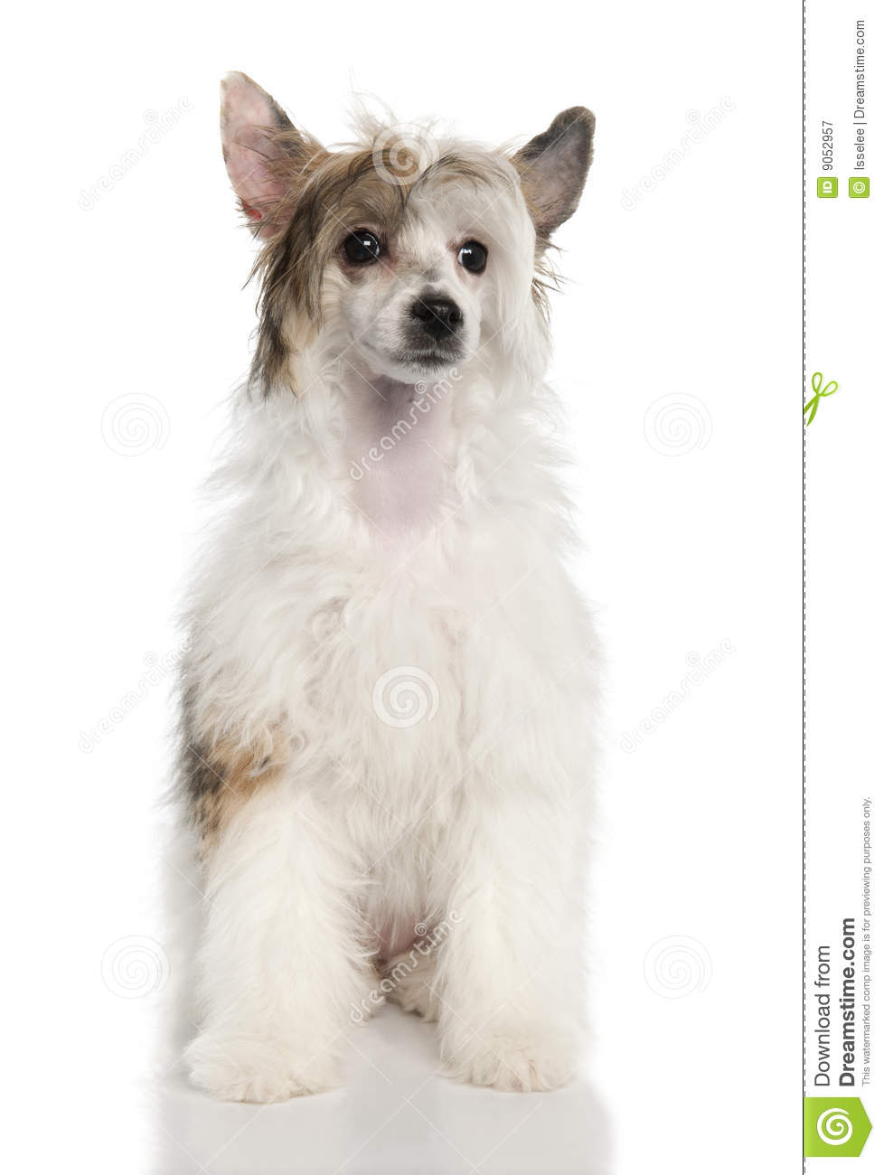 Chinese Crested 4 Months Chinese Crested Dog - ...