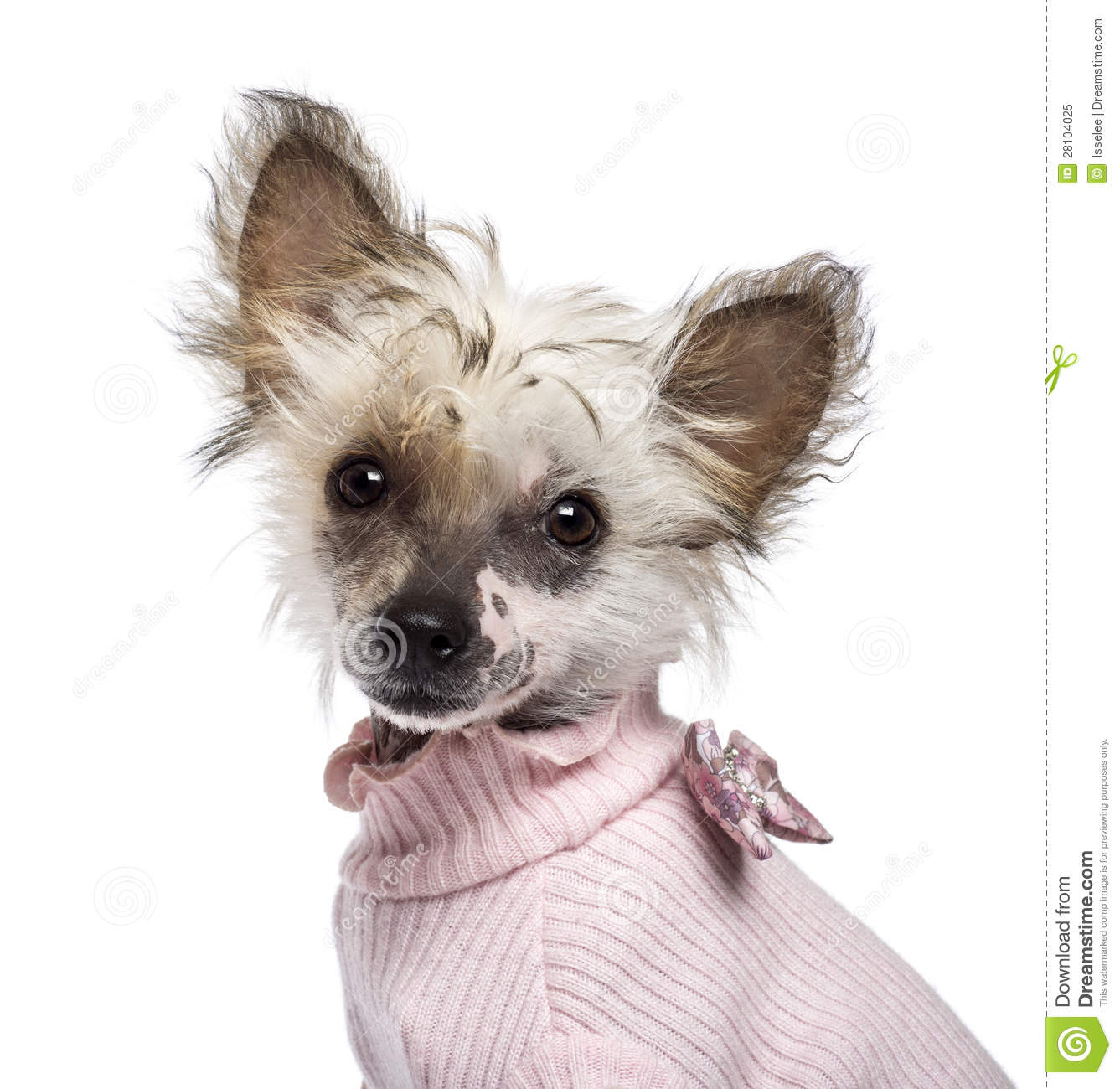 Chinese Crested 4 Months Chinese Crested Dog puppy  4
