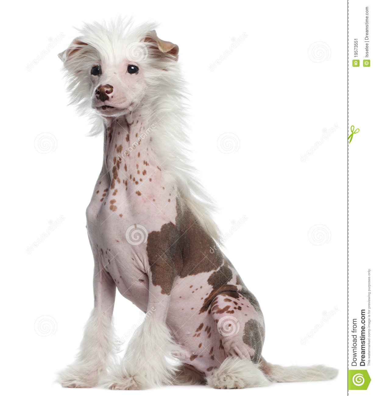 Chinese Crested 4 Months Chinese Crested Dog Pu...