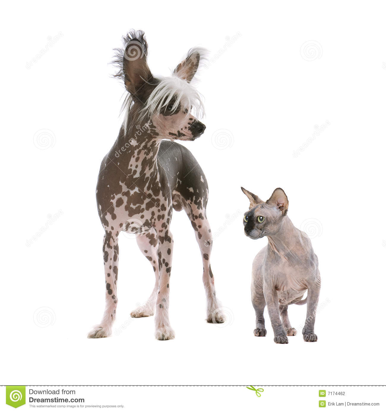 Chinese Crested Dog And A Sphynx Hairless Cat Stock Photo