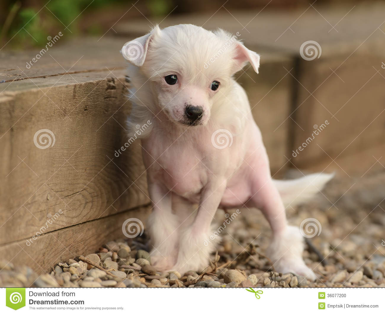 Chinese Crested Puppies Stock Photo - Image: 36077200