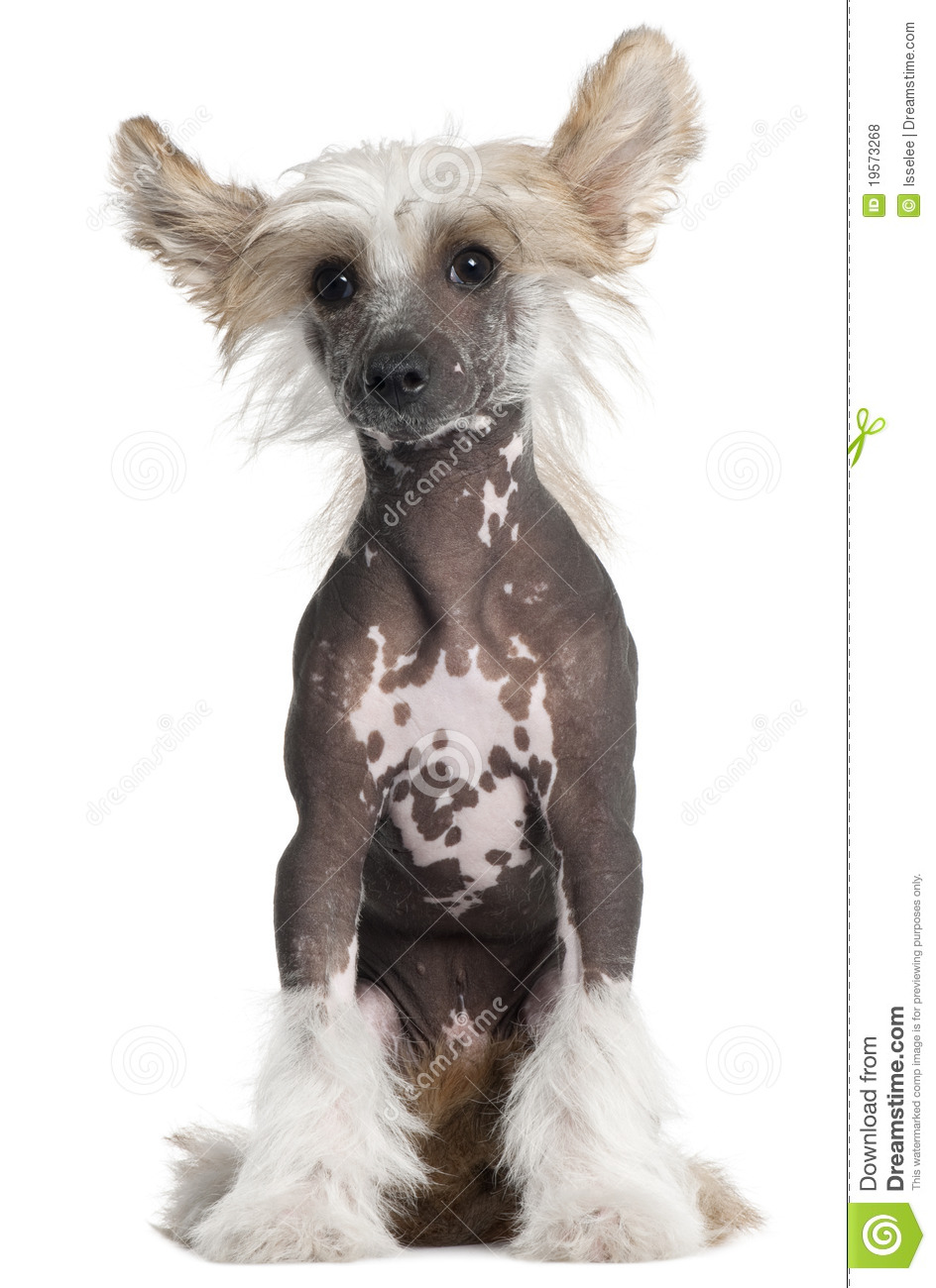 Chinese Crested 4 Months Chinese Crested Puppy,...