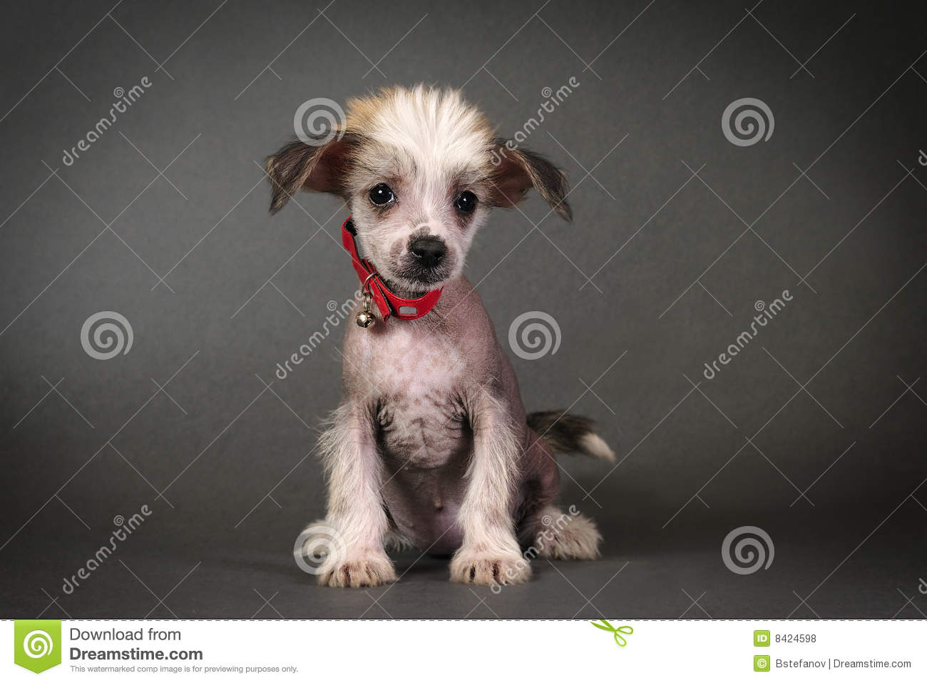 Chinese Crested Puppy Stock Photo Image Of Adorable