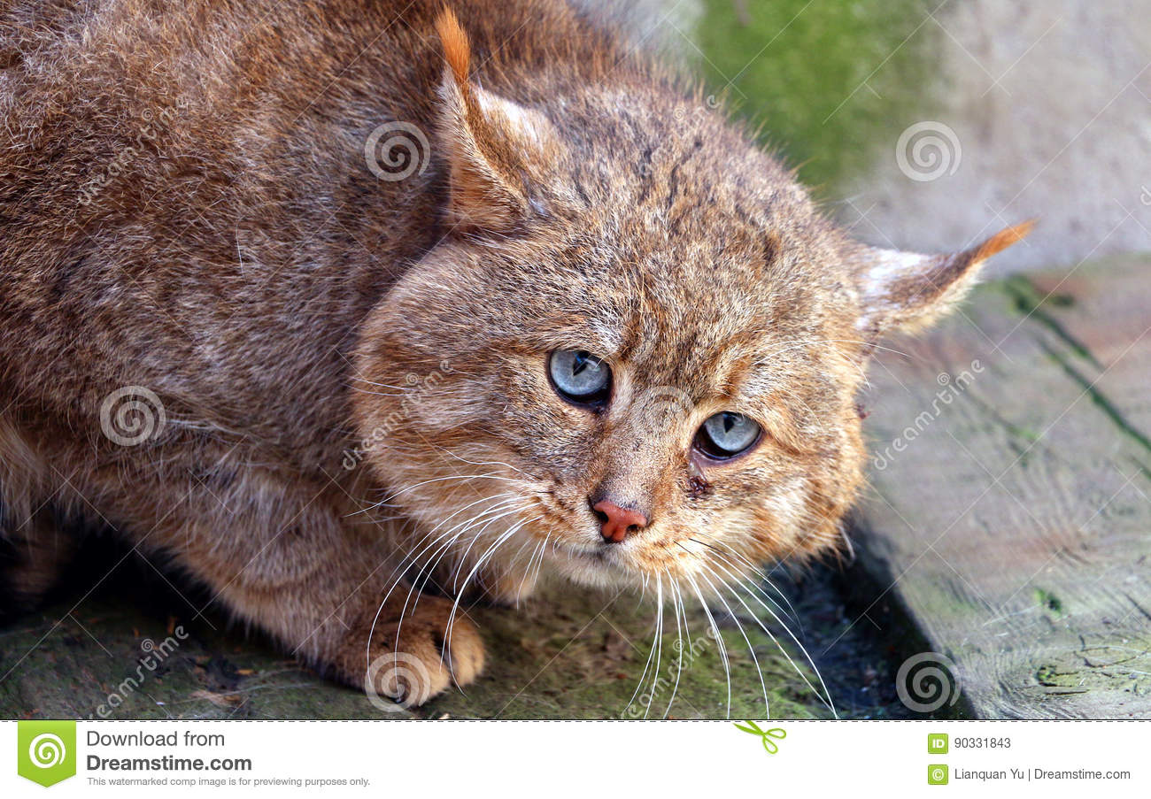 caracal kittens for sale in usa
