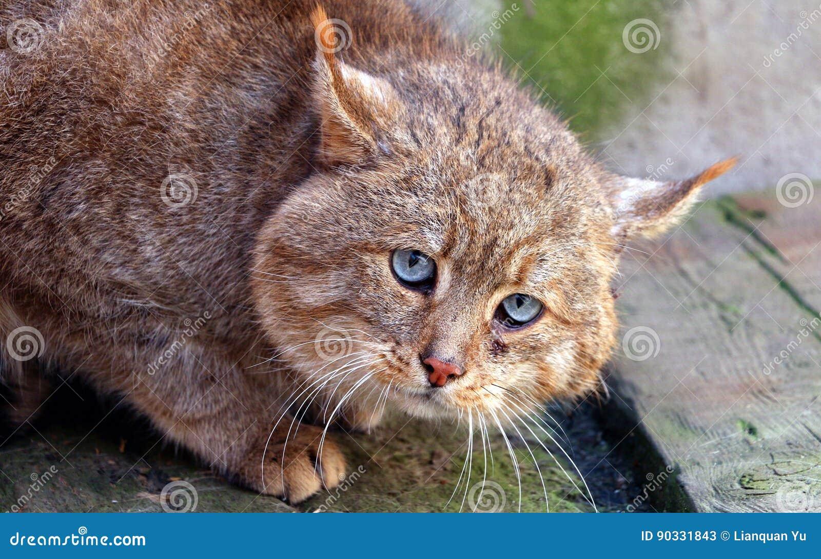 Chinese Desert Cat