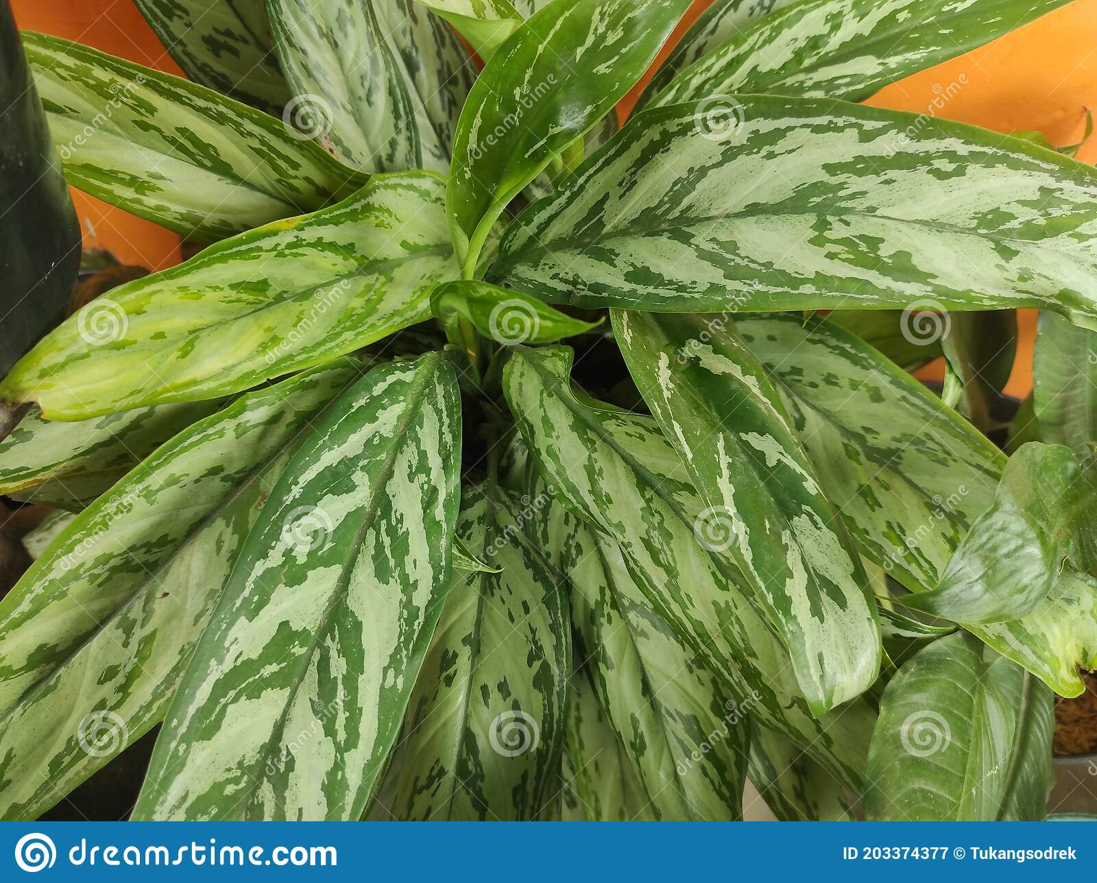 Chinese Evergreen Plants In The Name Of Indonesia Is Bunga Sri Rejeki Stock Image Image Of Indonesia Rejeki 203374377 Gambar bunga sri rejeki
