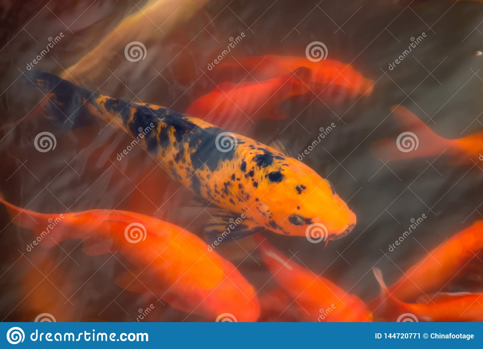 Chinese fish in a pond in China