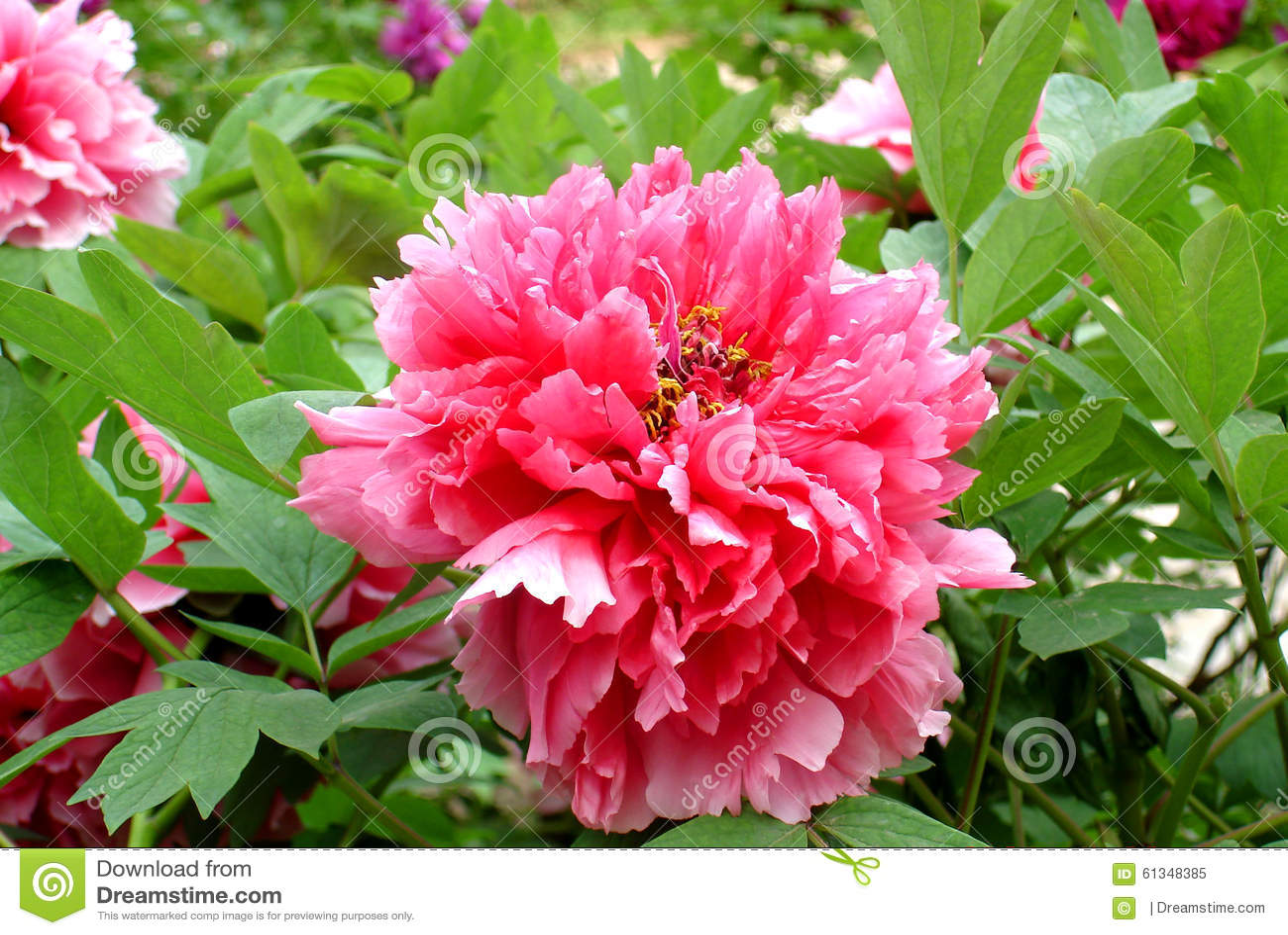 Chinese Flower peony Stock Image