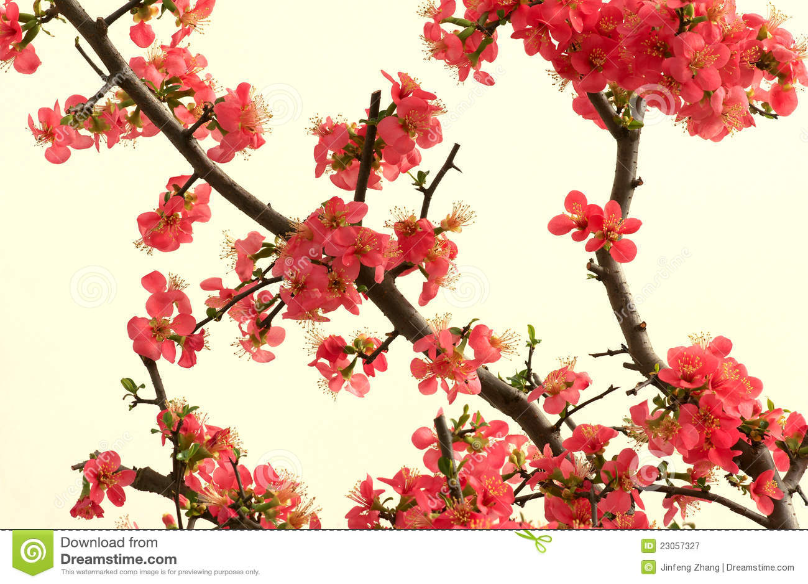 chinese flowers stock photo  image, Beautiful flower