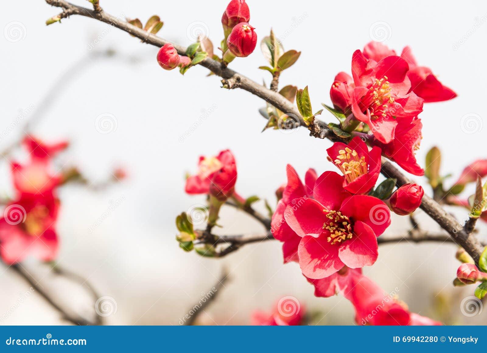 Chinese Flowering Crab Apple Stock Photo Image Of Tree
