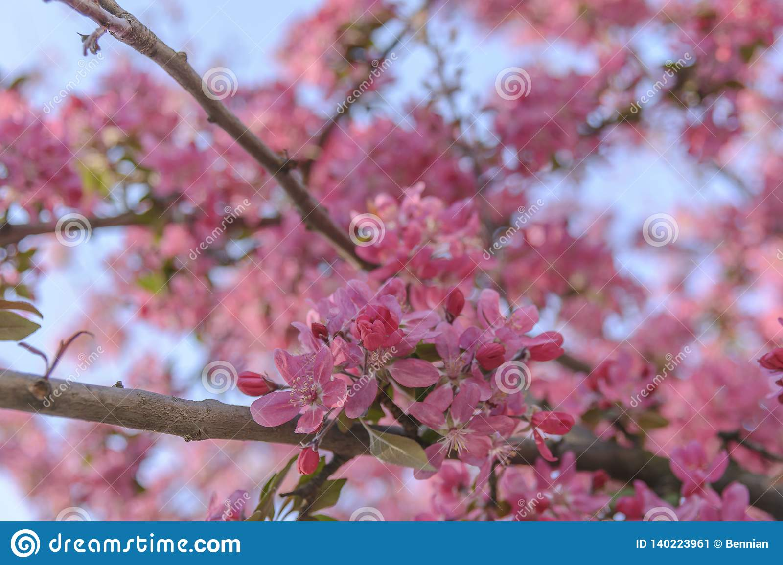 Chinese Flowering Crab Apple Branches Season Blossom Stock Image