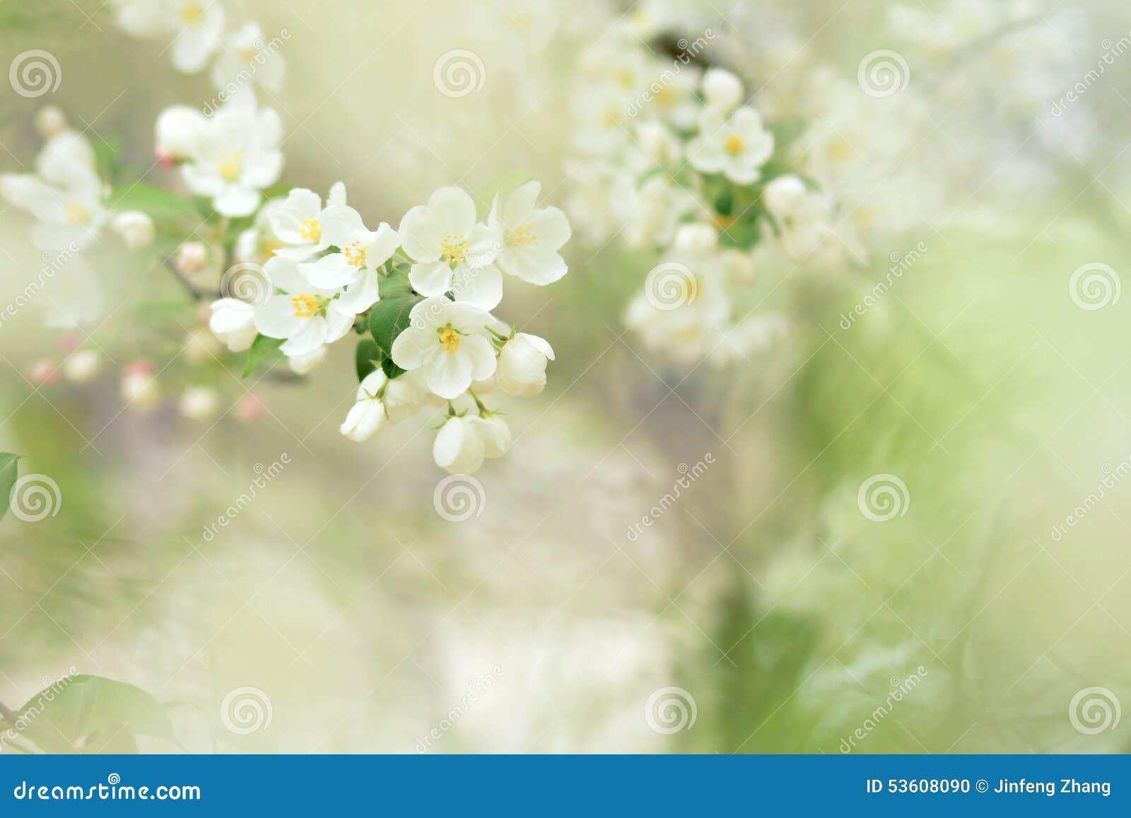 Chinese Flowering Crabapple Stock Photo Image Of Bloom White