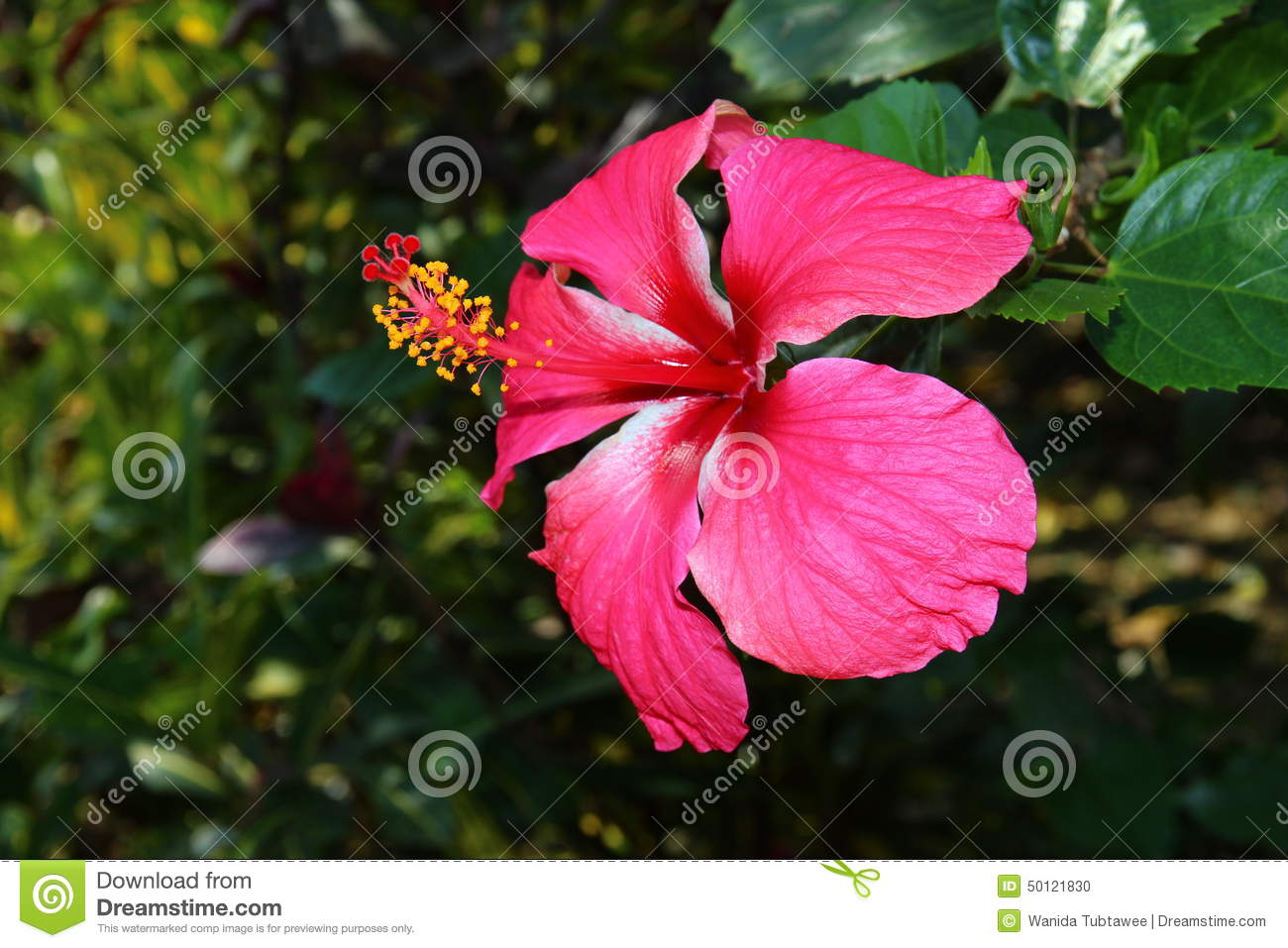 Chinese hibiscus china rose hawaiian hibiscus stock photo image chinese hibiscus china rose hawaiian hibiscus izmirmasajfo Gallery