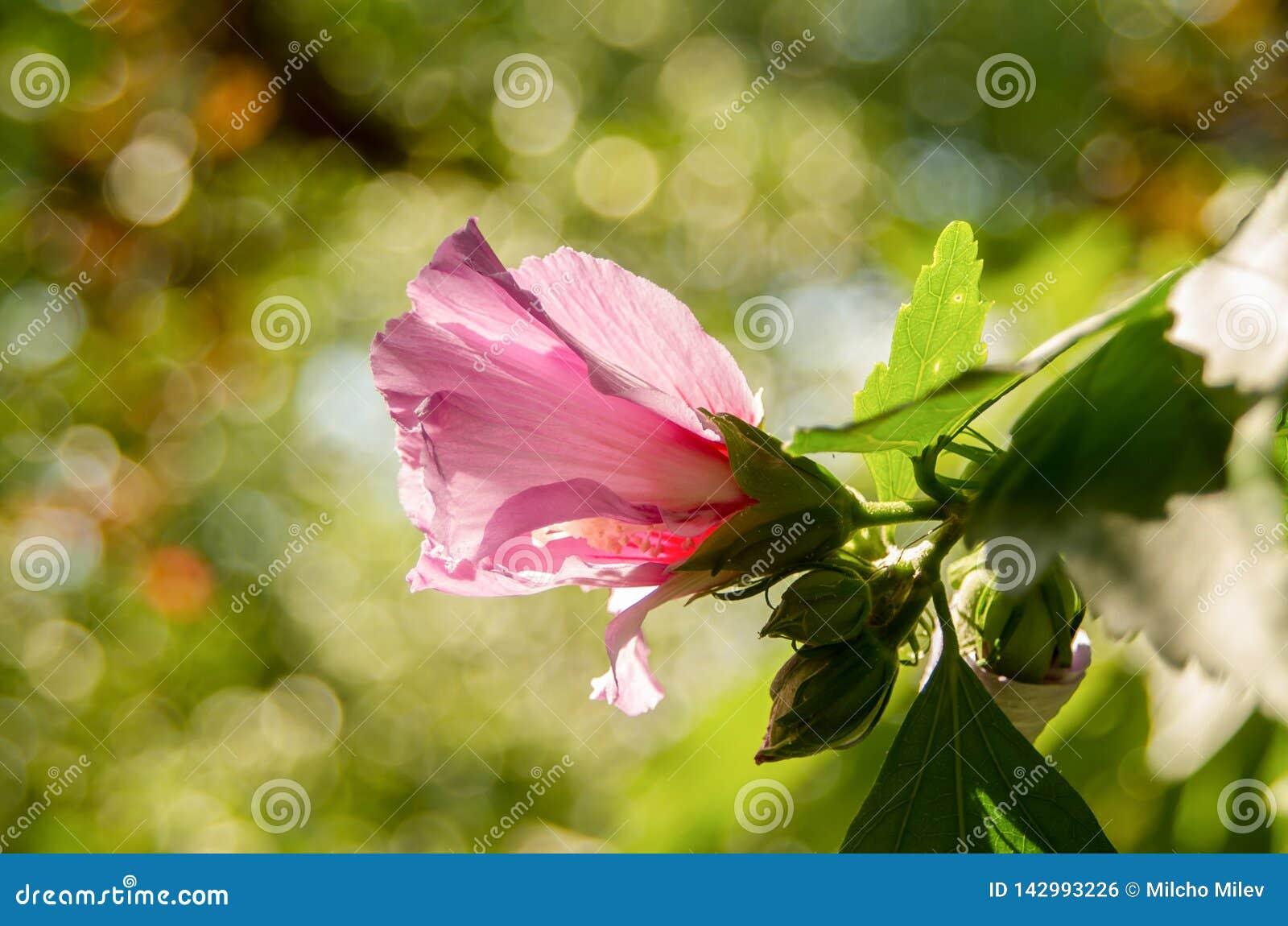 Chinese Hibiscus. Flower pink hibiscus