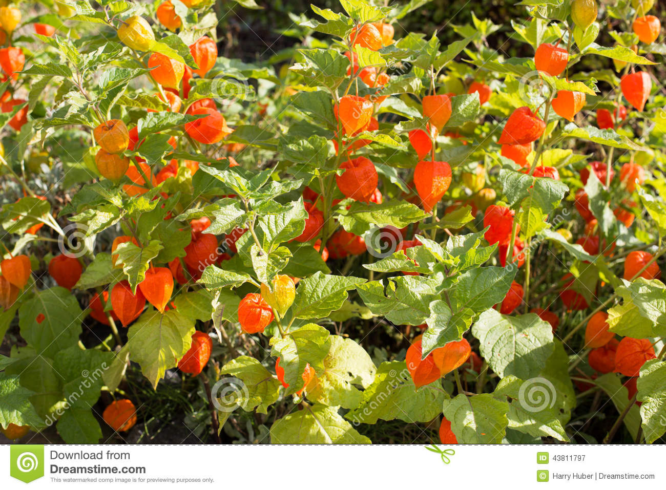 chinese lantern flower physalis alkekengi stock photo  image, Beautiful flower