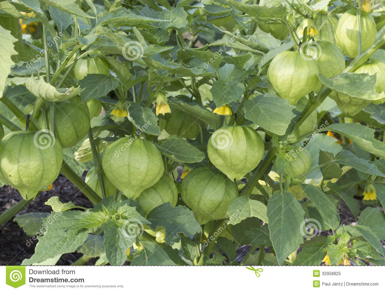 Chinese lantern plant royalty free stock photo image for Green plants for garden