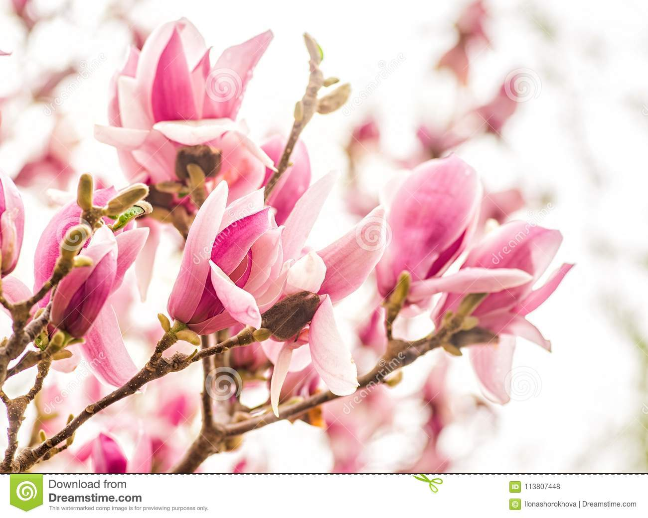 Purple And White Chinese Magnolia Tree Flowers Blooming In Spring On