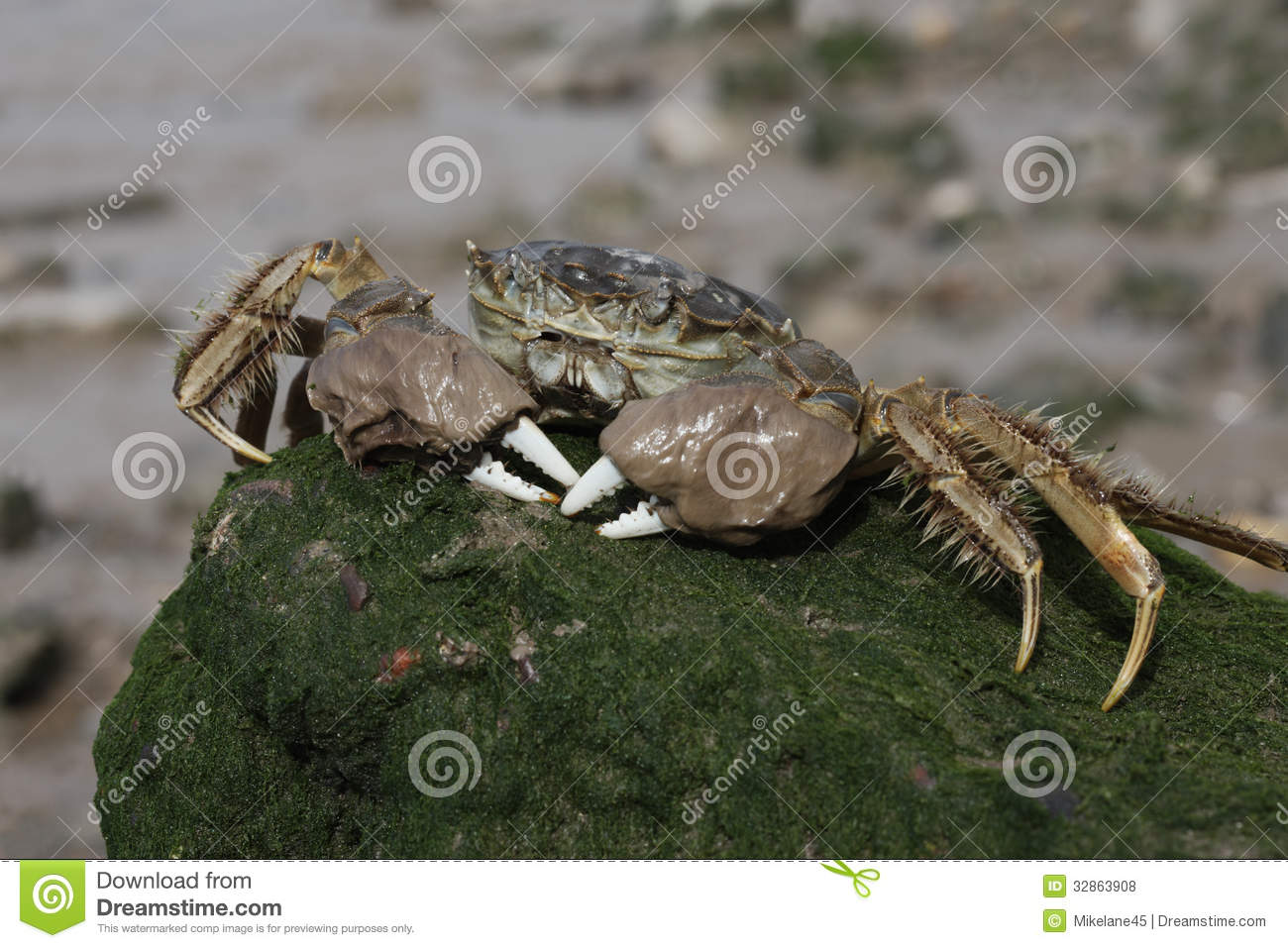 Chinese mitten crab eriocheir sinensis burrows in banks of river