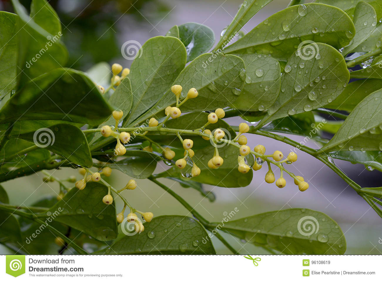 Chinese Perfume Tree With Tiny Yellow Flowers Stock Image Image Of