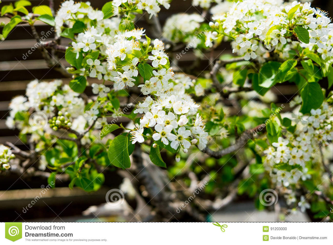 Chinese plum bonsai tree with white blooming flowers in sunny day in download chinese plum bonsai tree with white blooming flowers in sunny day in botanic garden stock mightylinksfo