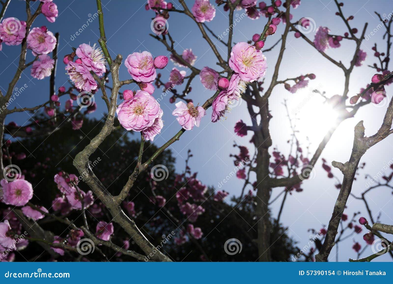 Chinese pruimbloemen en zon