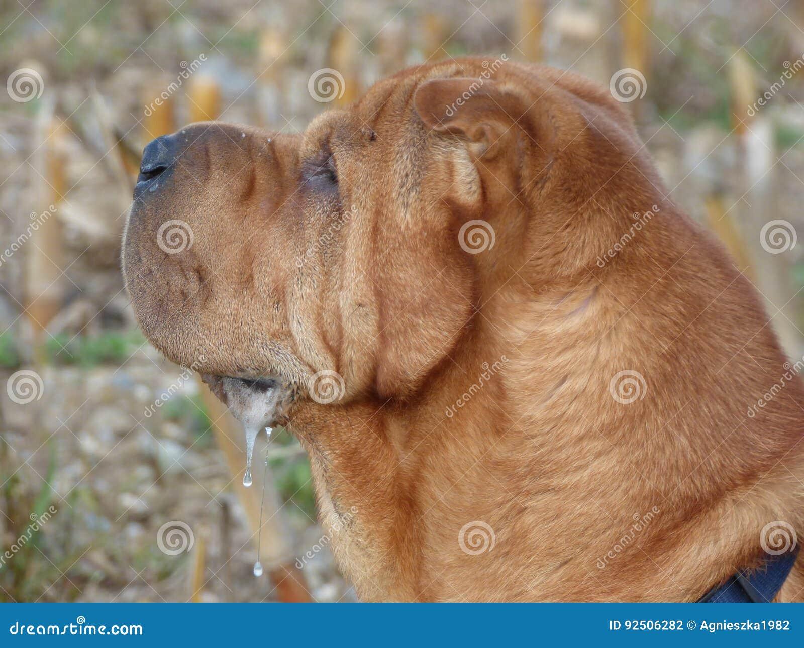 Chinese shar-pei, Chinese het vechten hond