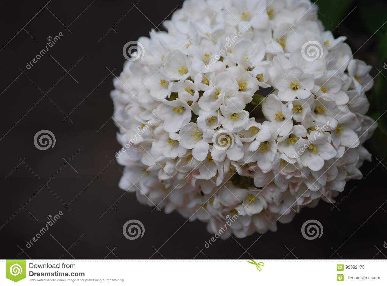 Chinese snowball flower stock photo image of flowers 93382178 download chinese snowball flower stock photo image of flowers 93382178 mightylinksfo