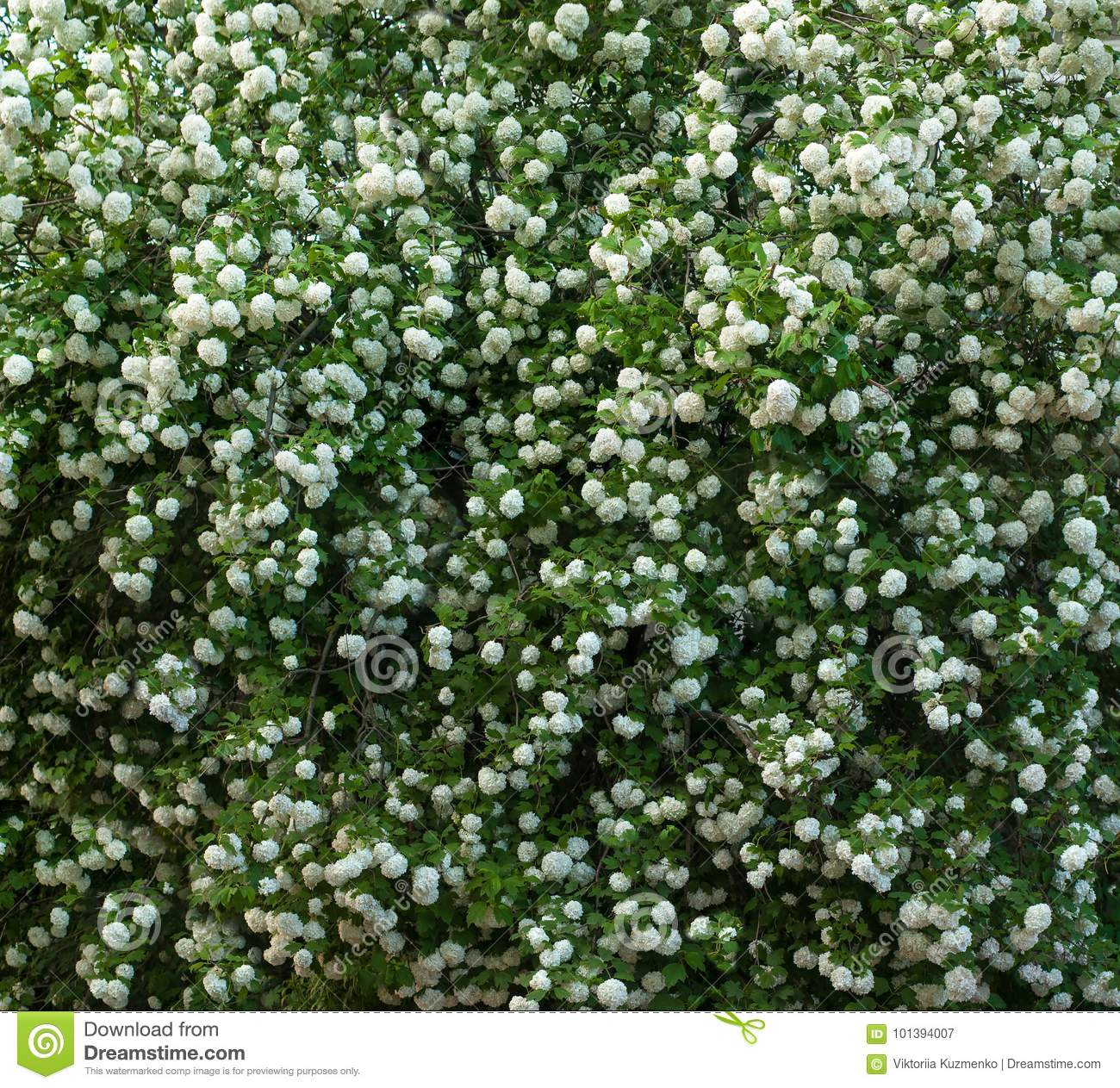 9c225f44f Chinese Snowball Viburnum Flower Heads Are Snowy. Blooming Of ...