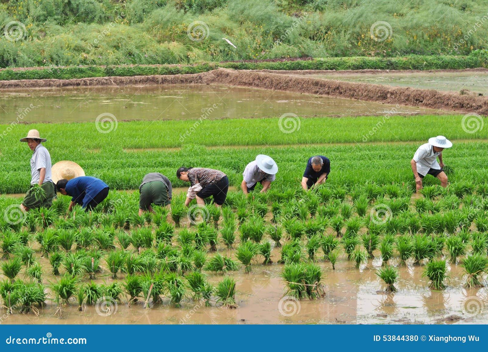 Chinese transplant rice seedlings