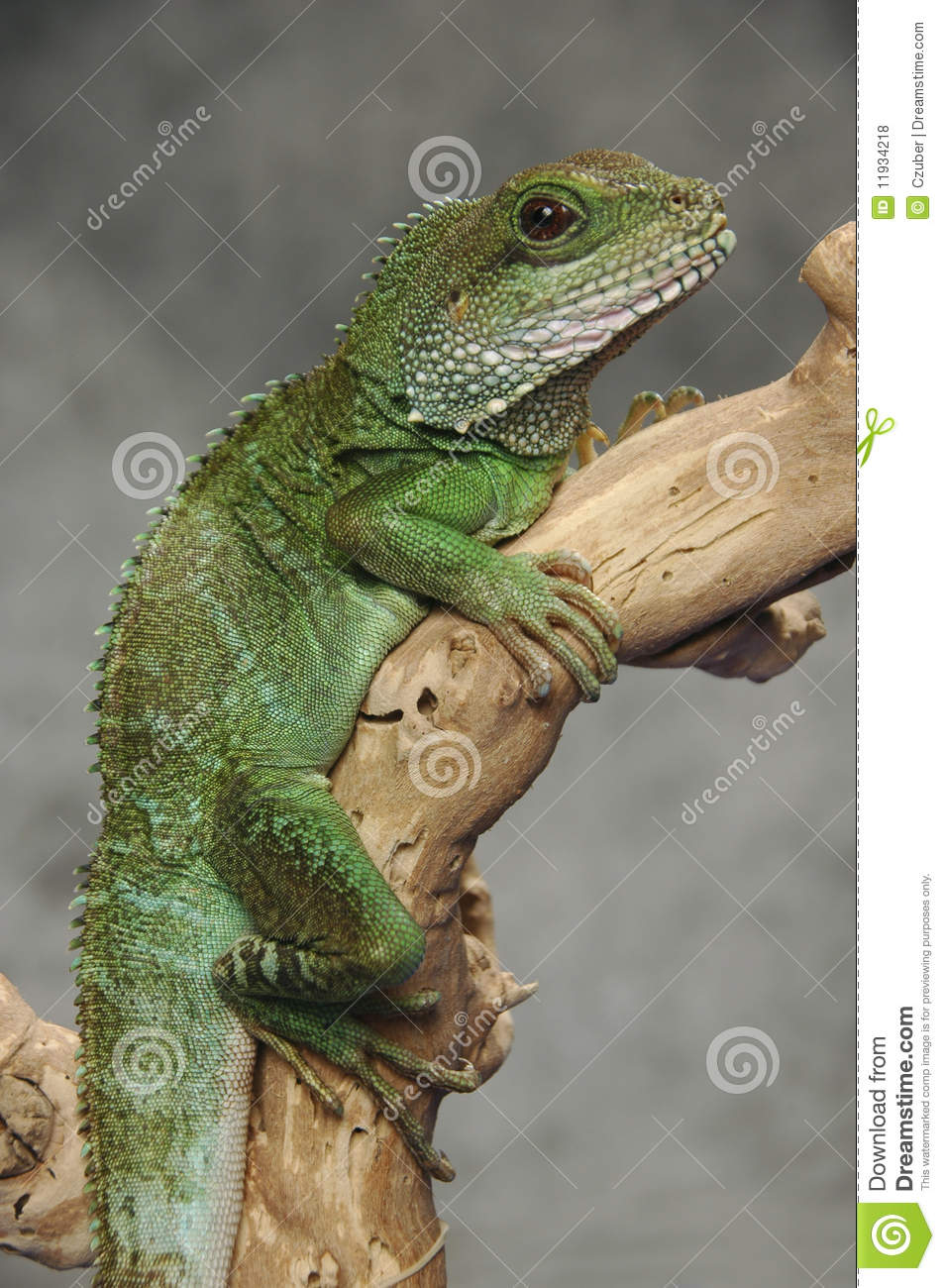 Chinese Water Dragon On Branch Stock Photo Image Of