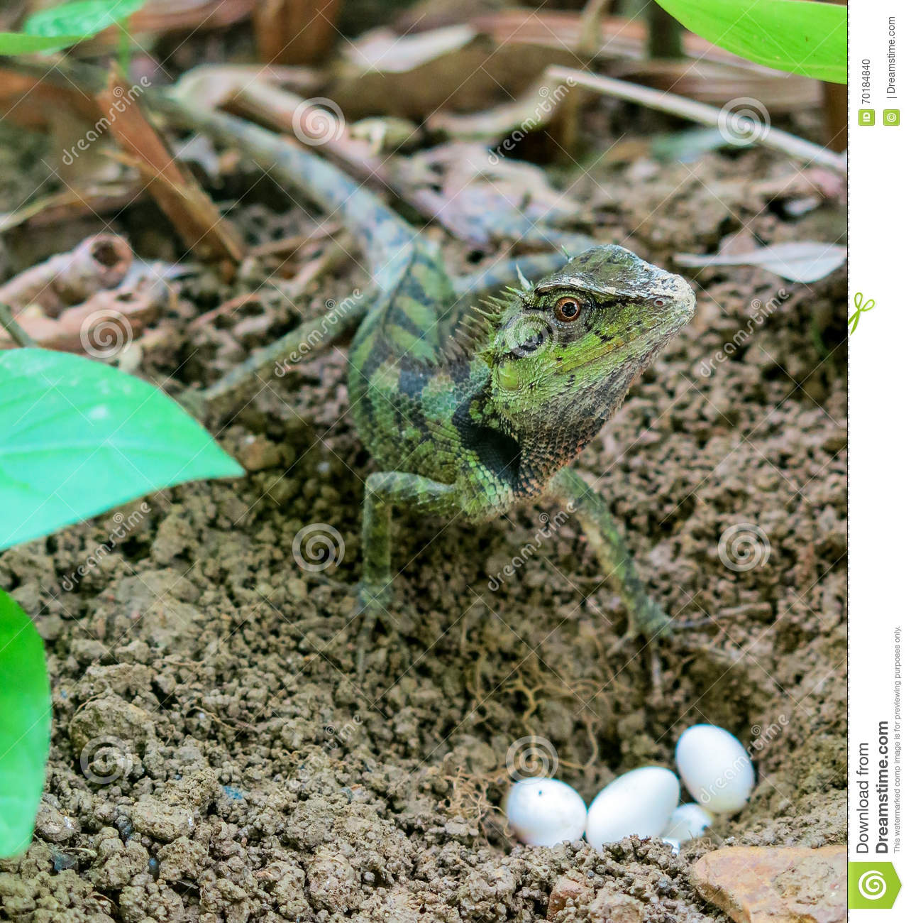 how to find lizard eggs