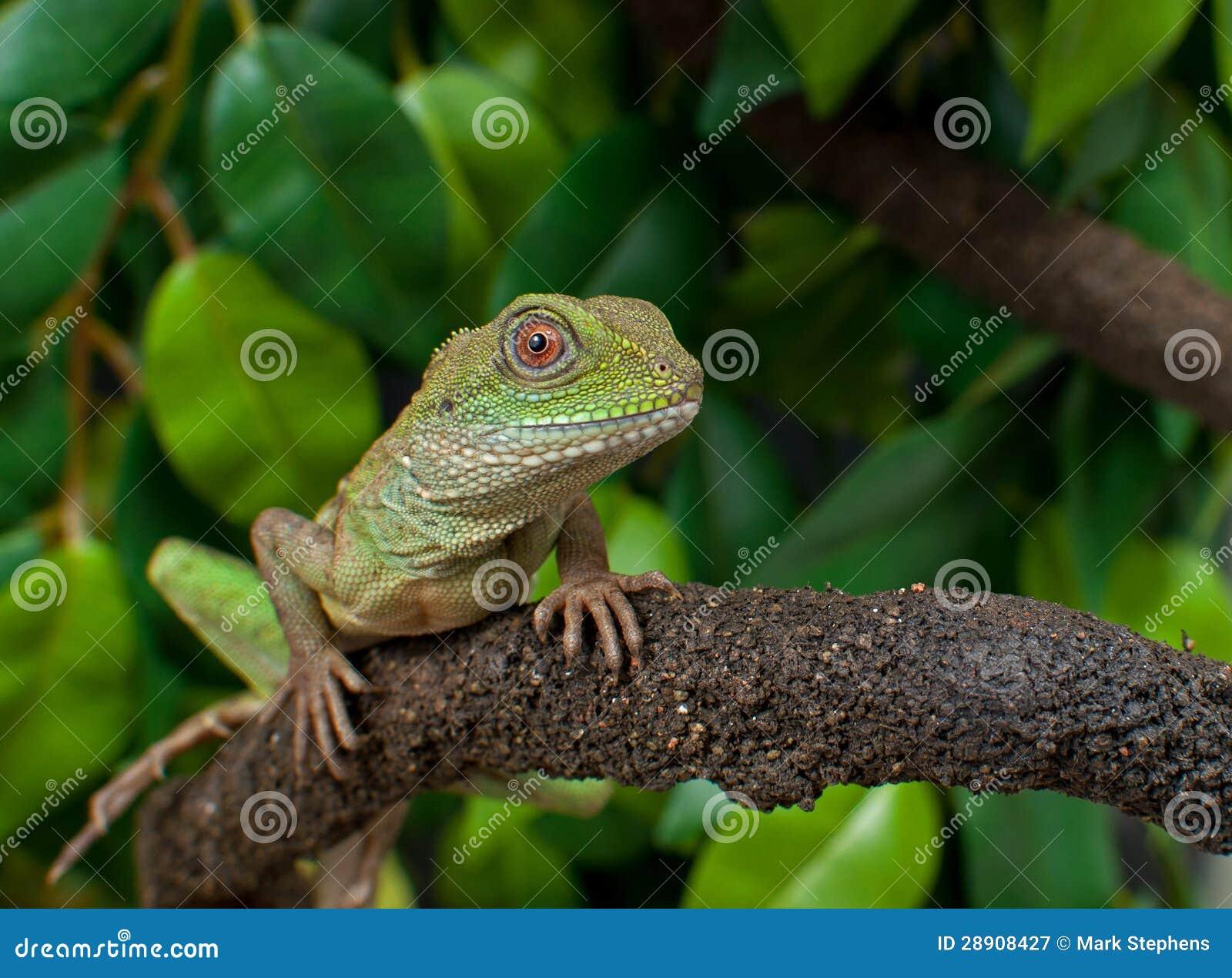 Chinese Water Dragon Lizard Reptile Physignathus Cocincinus Stock