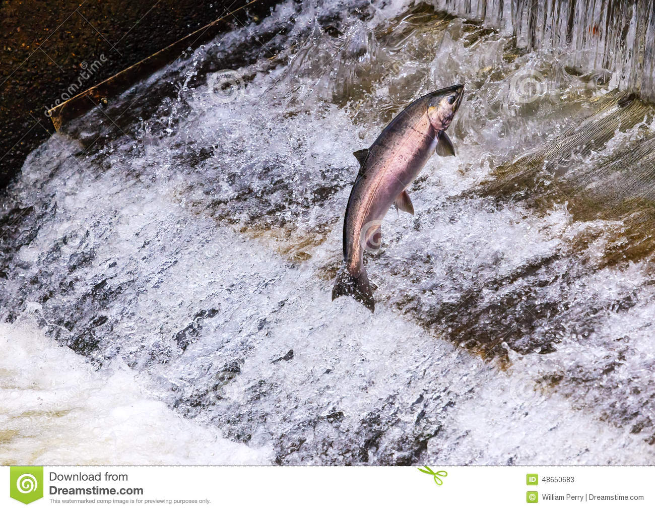 how to tell chinook from coho
