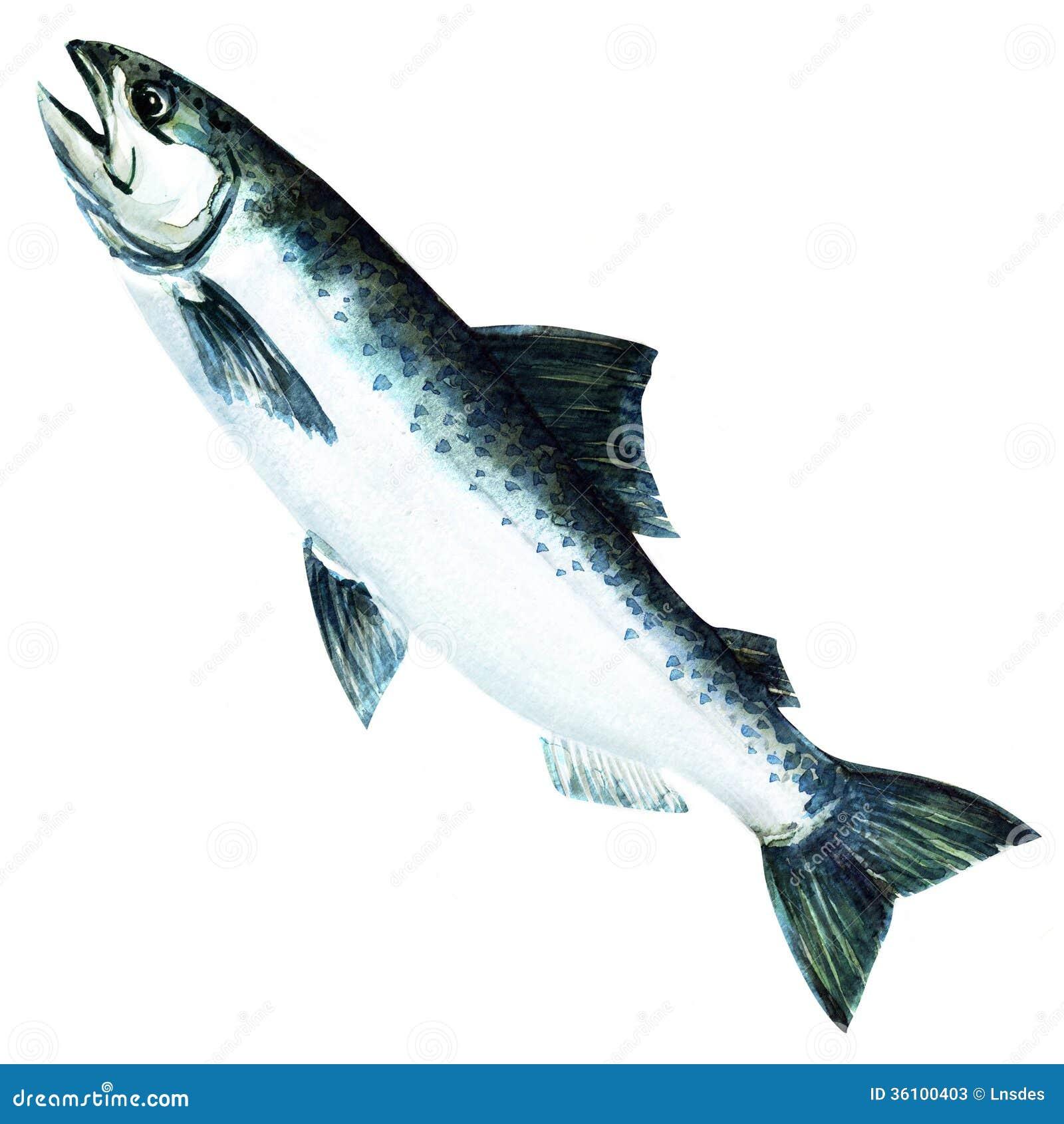 Chinook Salmon Fish. W...