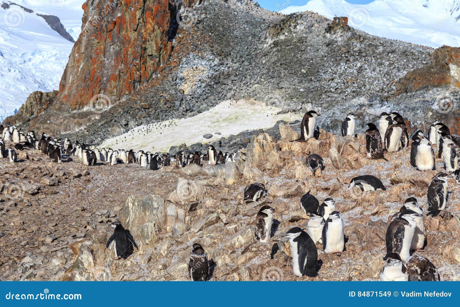 Chinstrap-Pinguinfamilienmitglieder, die auf den Felsen zusammentreten