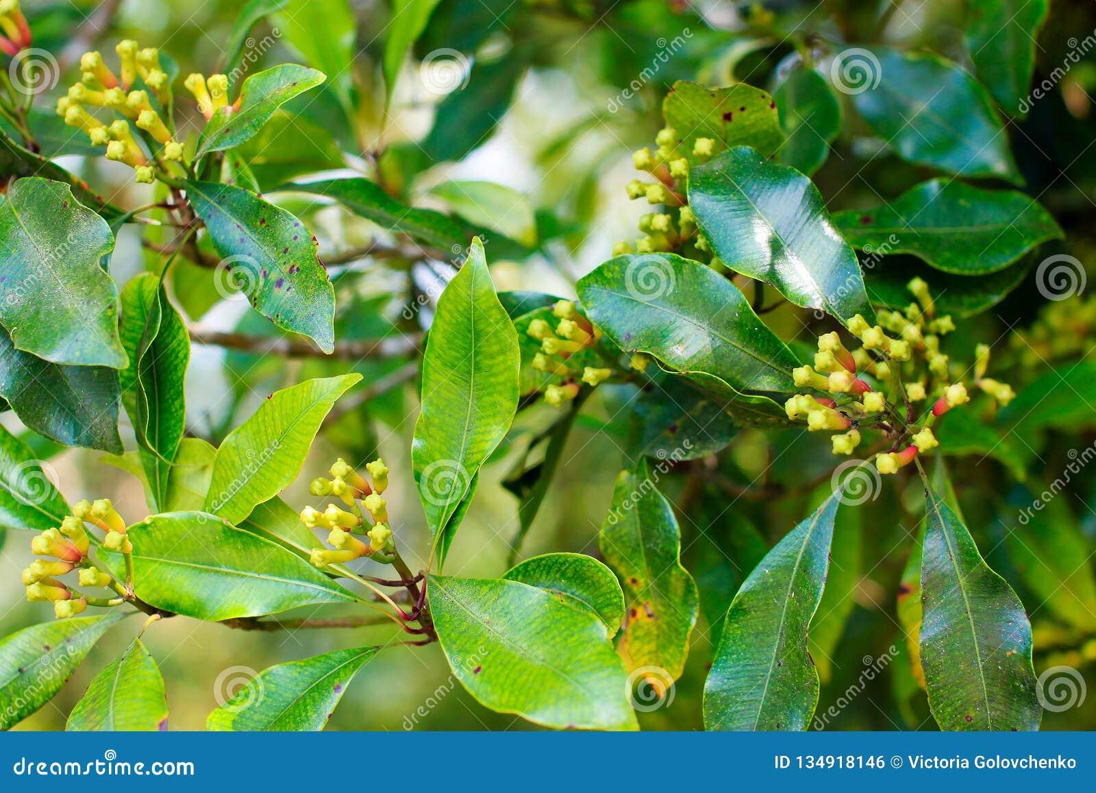 Chiodo di garofano che cresce con le foglie verdi sull albero, Bali
