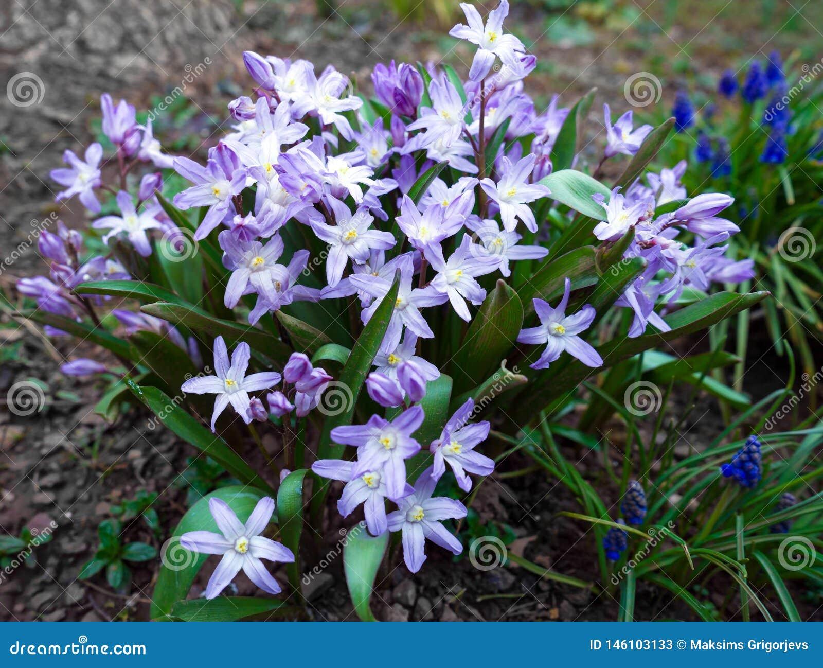 Chionodoxa, ordynariusz gwiazda, ?nieg wiosna kwitnie w ogr?dzie