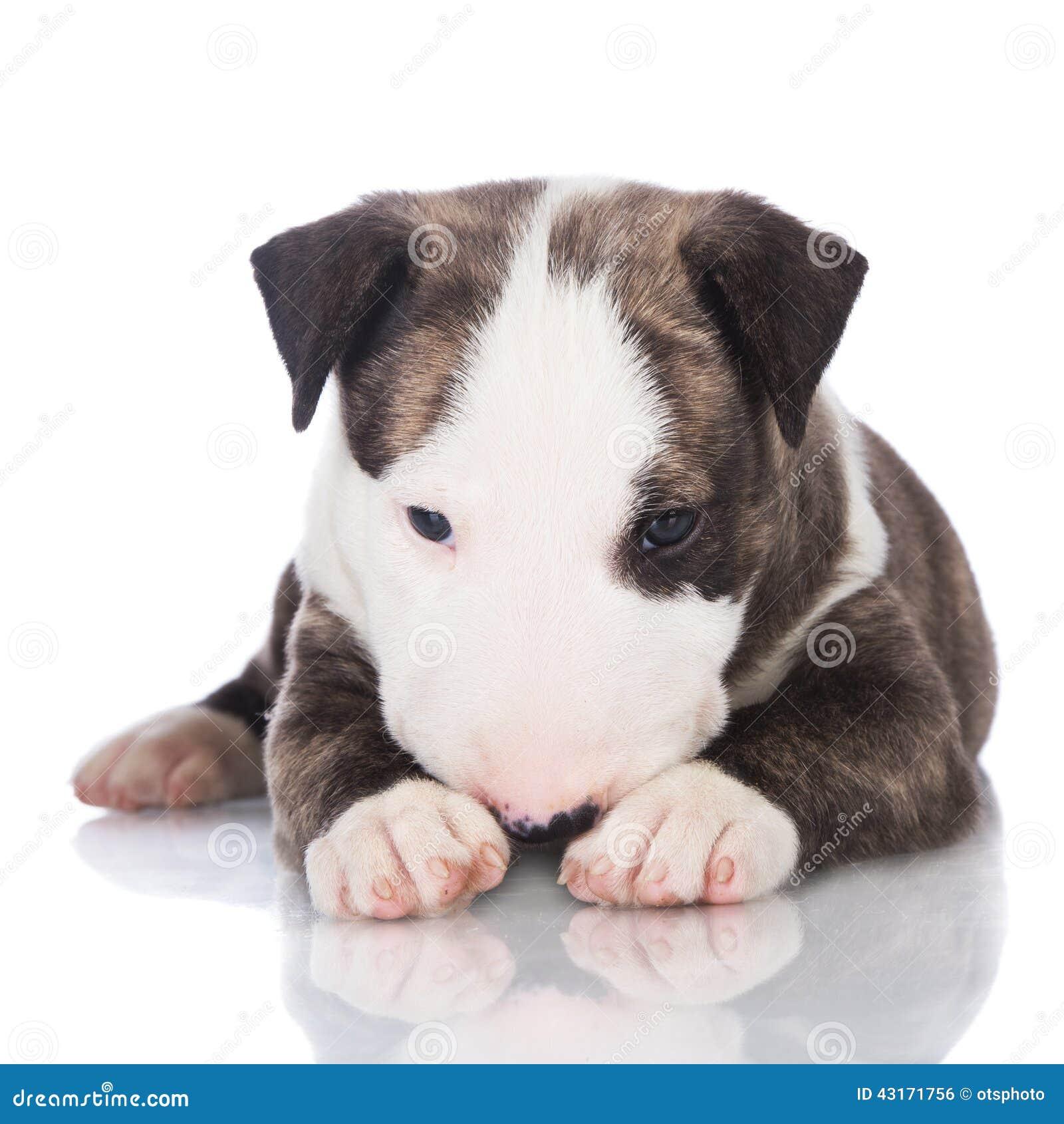 Chiot Anglais Bringé De Bull-terrier Photo stock - Image