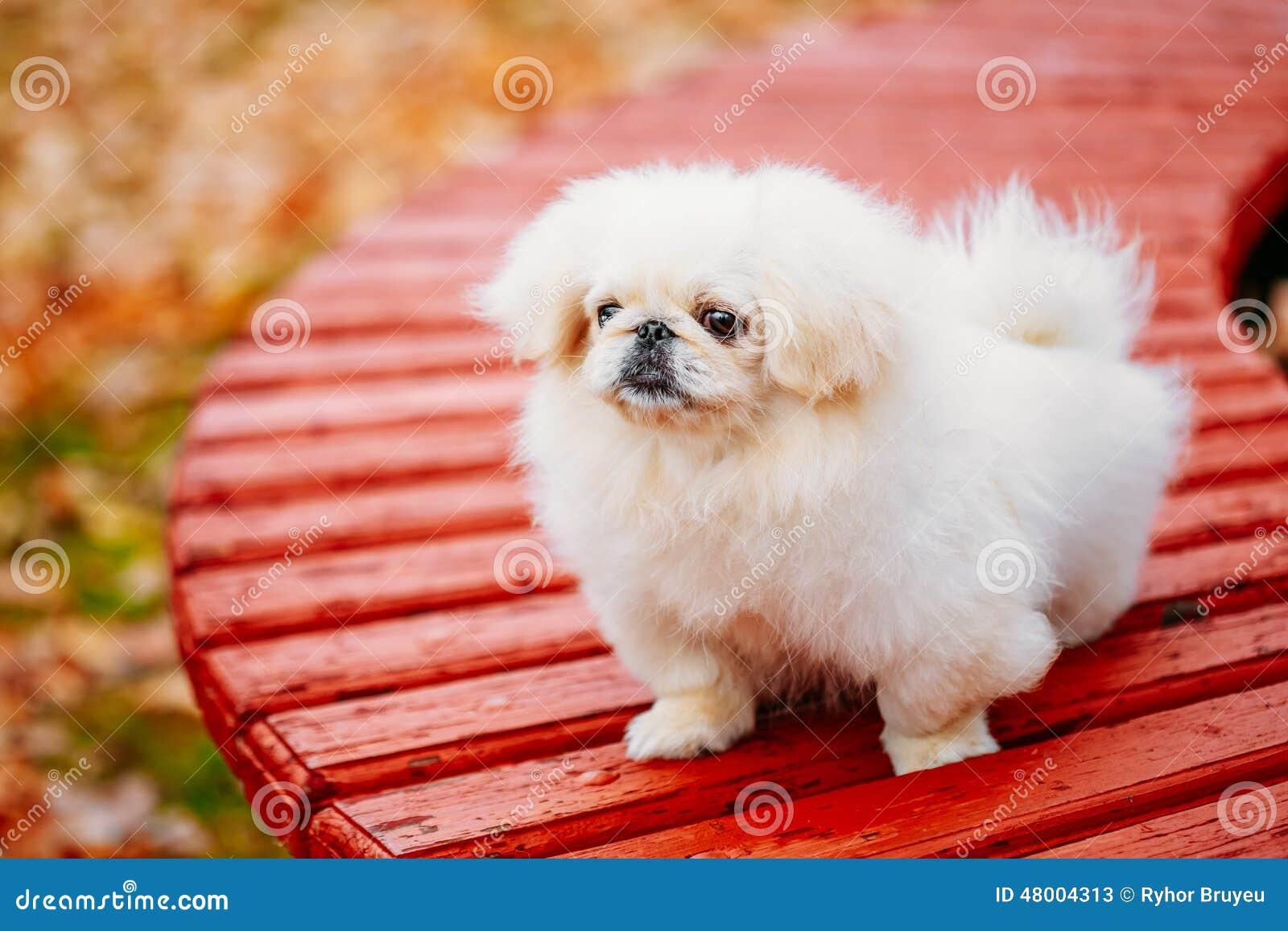 Chiot blanc de petit morveux de pékinois de pékinois de pékinois