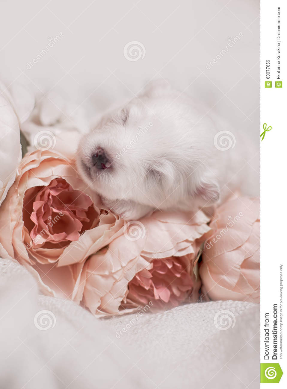 Download Chiot Blanc De Sommeil Adorable Photo stock - Image du beige, verticale: 63077656
