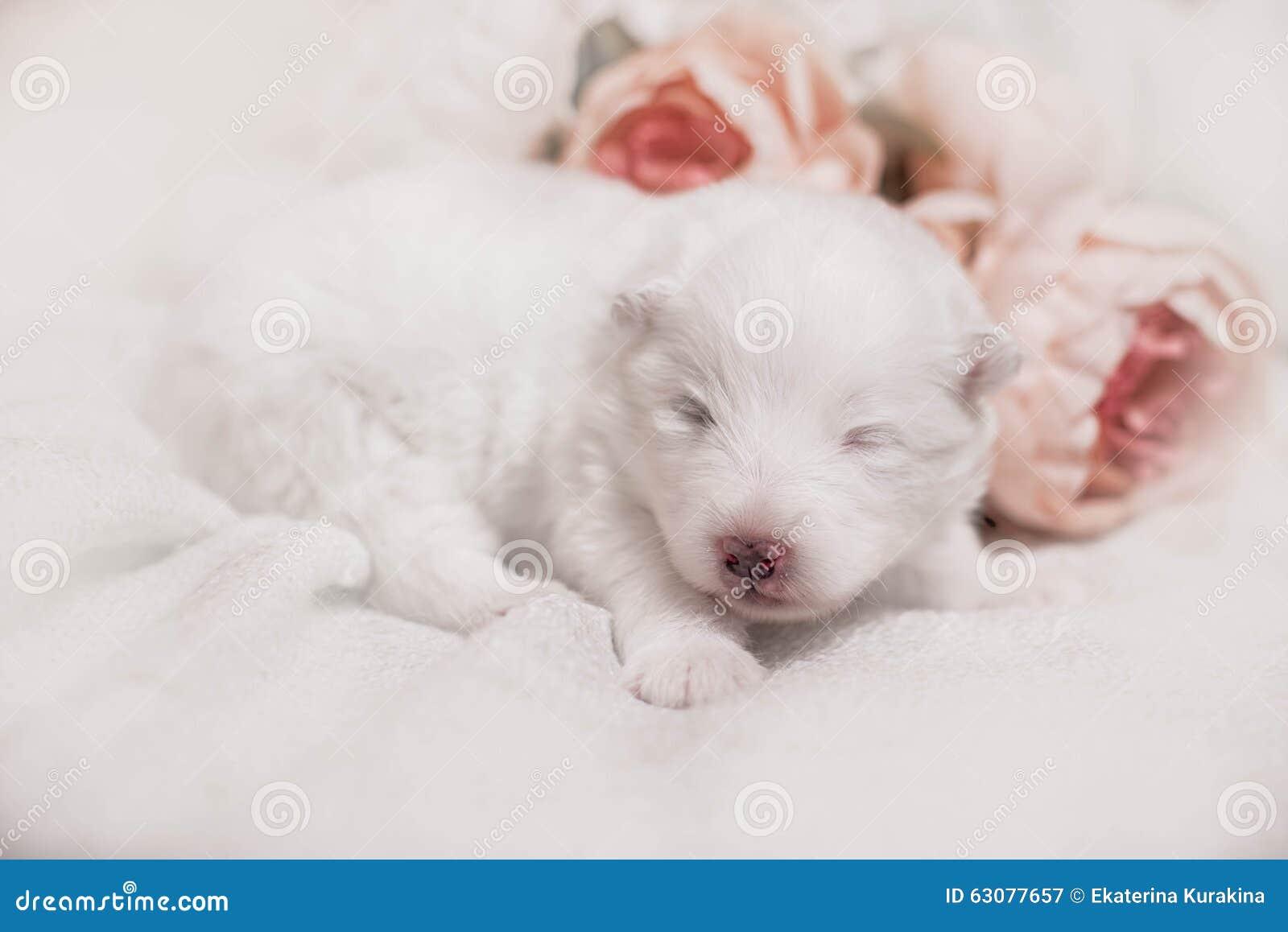 Download Chiot Blanc De Sommeil Adorable Image stock - Image du assez, pets: 63077657