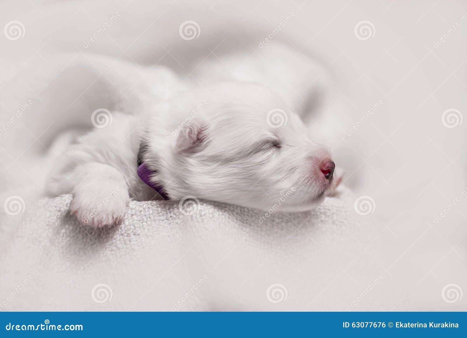 Download Chiot Blanc De Sommeil Adorable Photo stock - Image du laboratoire, nouveau: 63077676